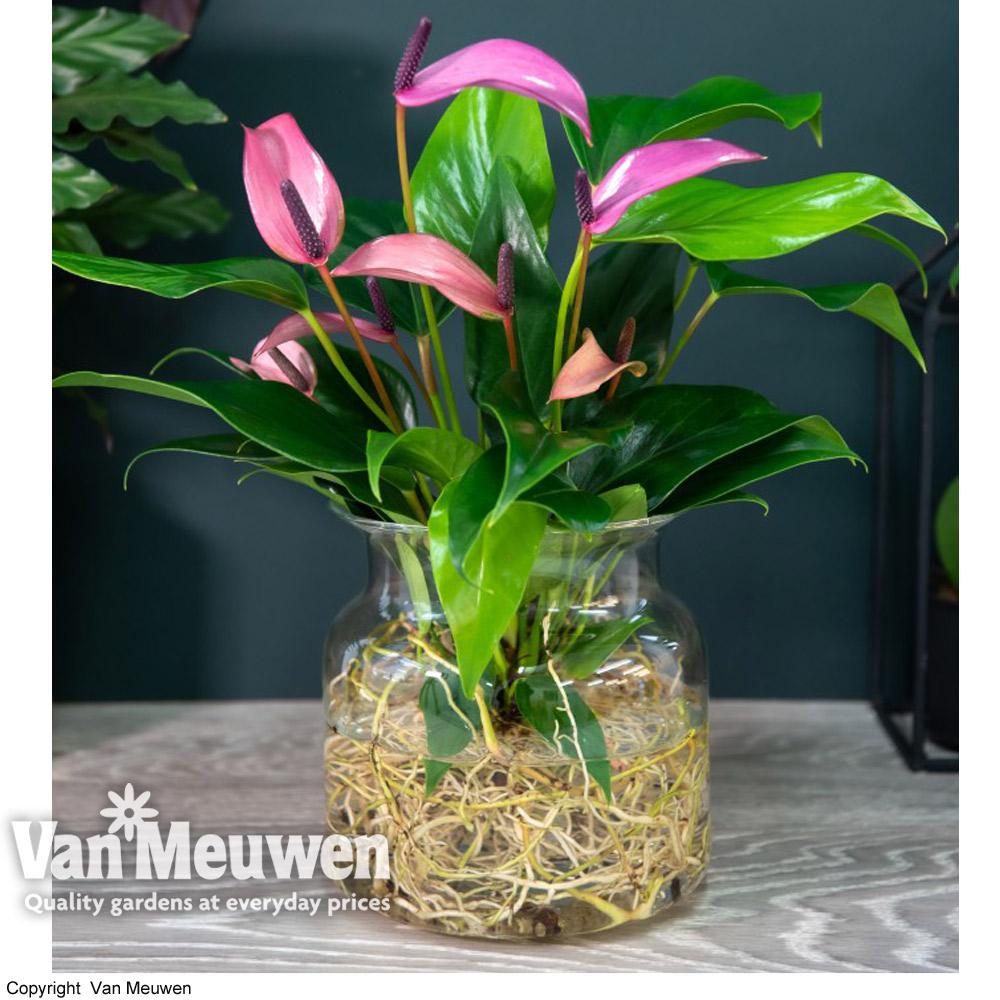Image of Anthurium Aqua Pink in Sierglass (House Plant)