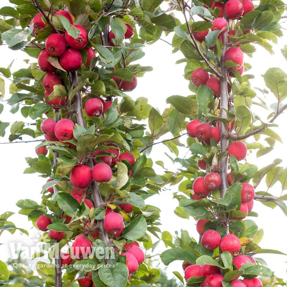 Image of Apple Appletini