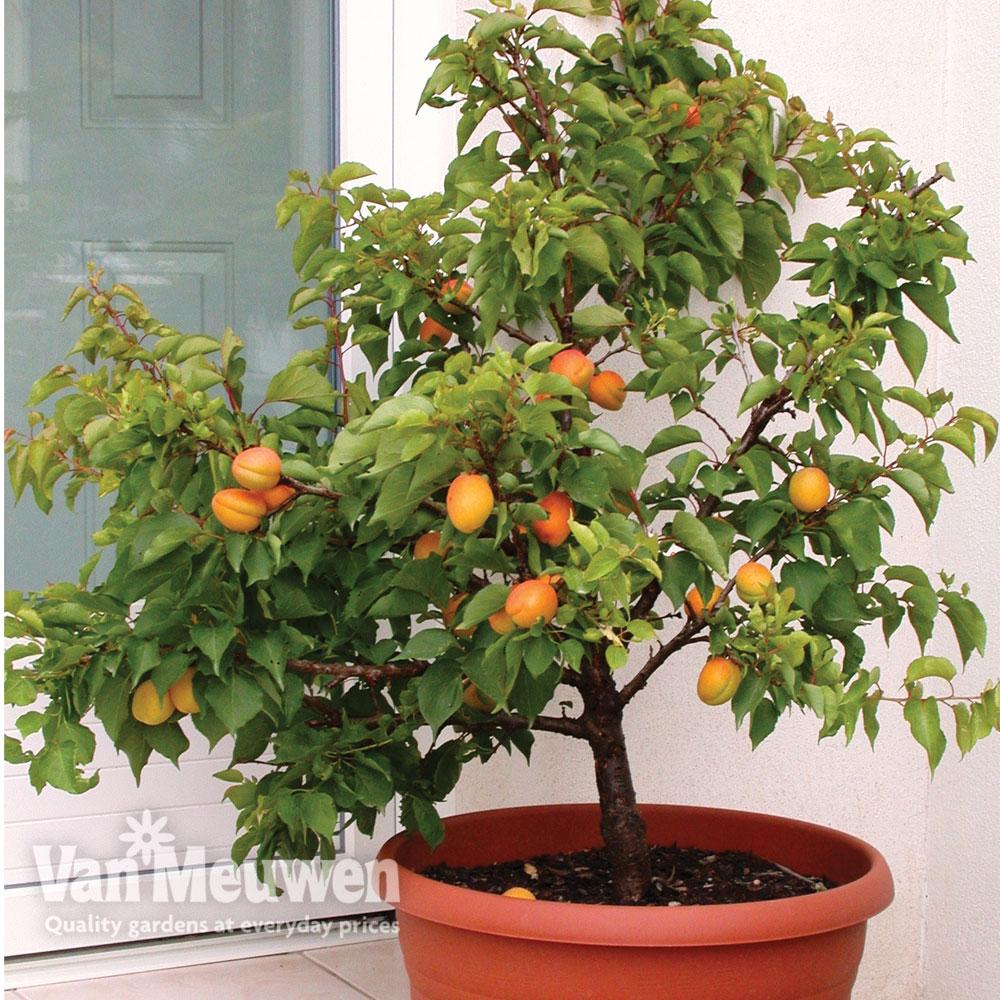 Image of Apricot 'Aprigold'® (Patio tree)