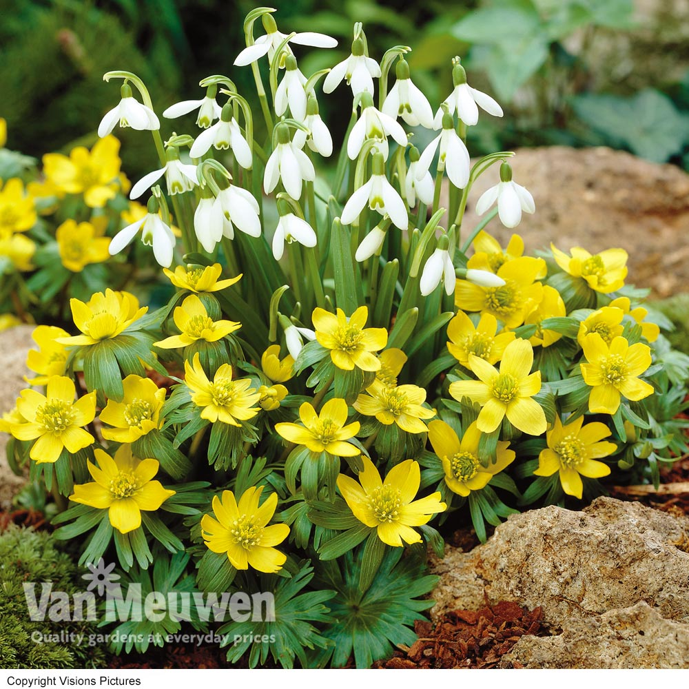 Image of Aconites and Snowdrops