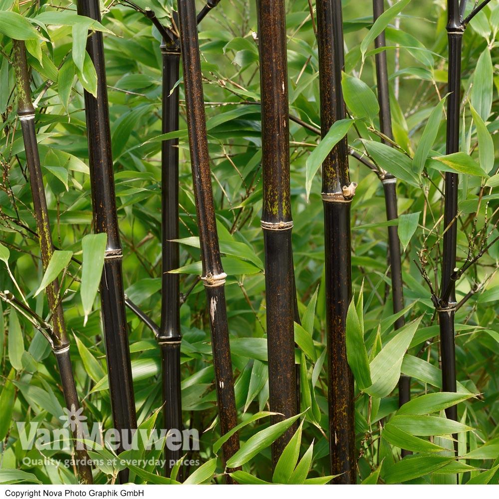 Image of Black Bamboo