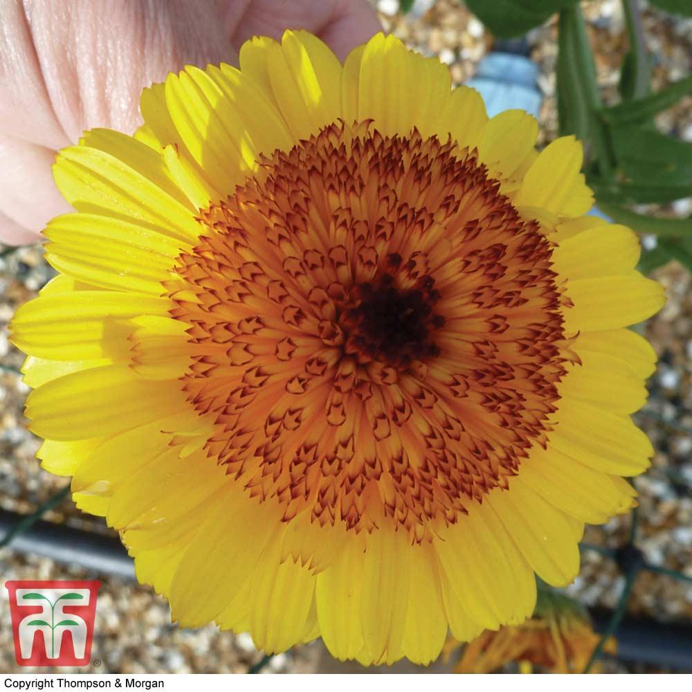 Image of Calendula officinalis 'Crown Yellow'