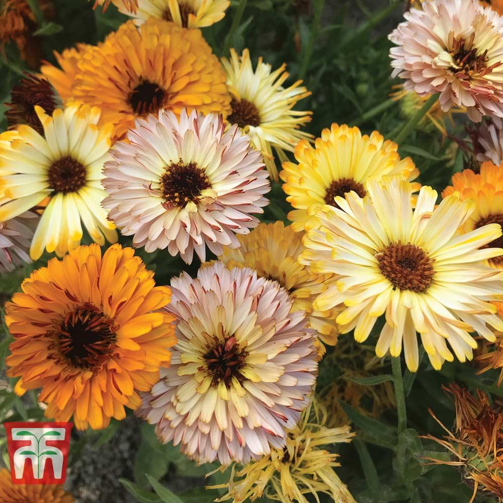 Image of Calendula officinalis 'Playtime Mix'