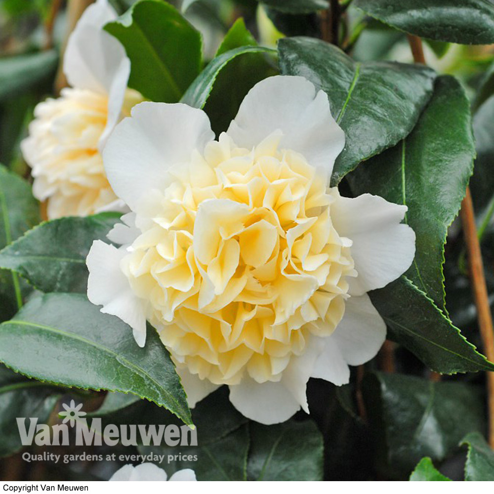 Image of Camellia 'Brushfield's Yellow'