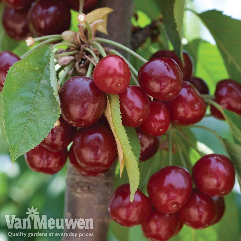 Image of Cherry 'Stella'