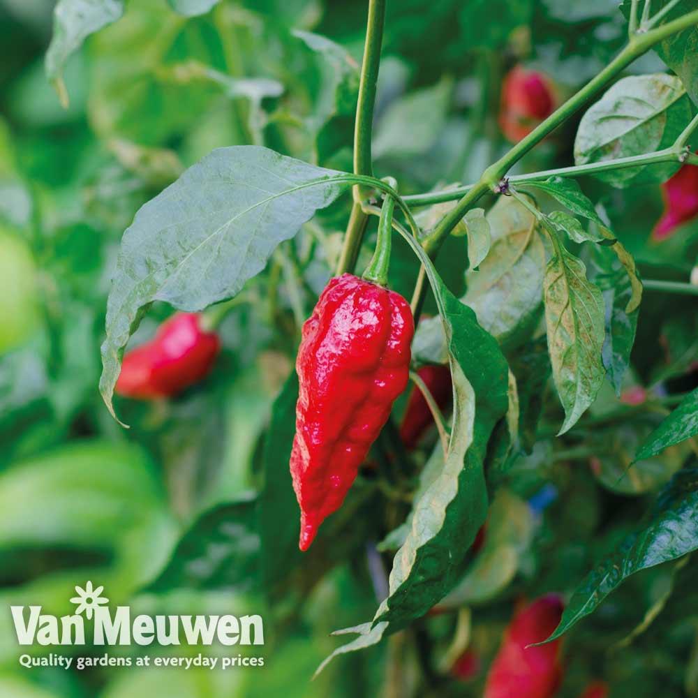 Image of Chilli Pepper 'Naga Red' (Hot)