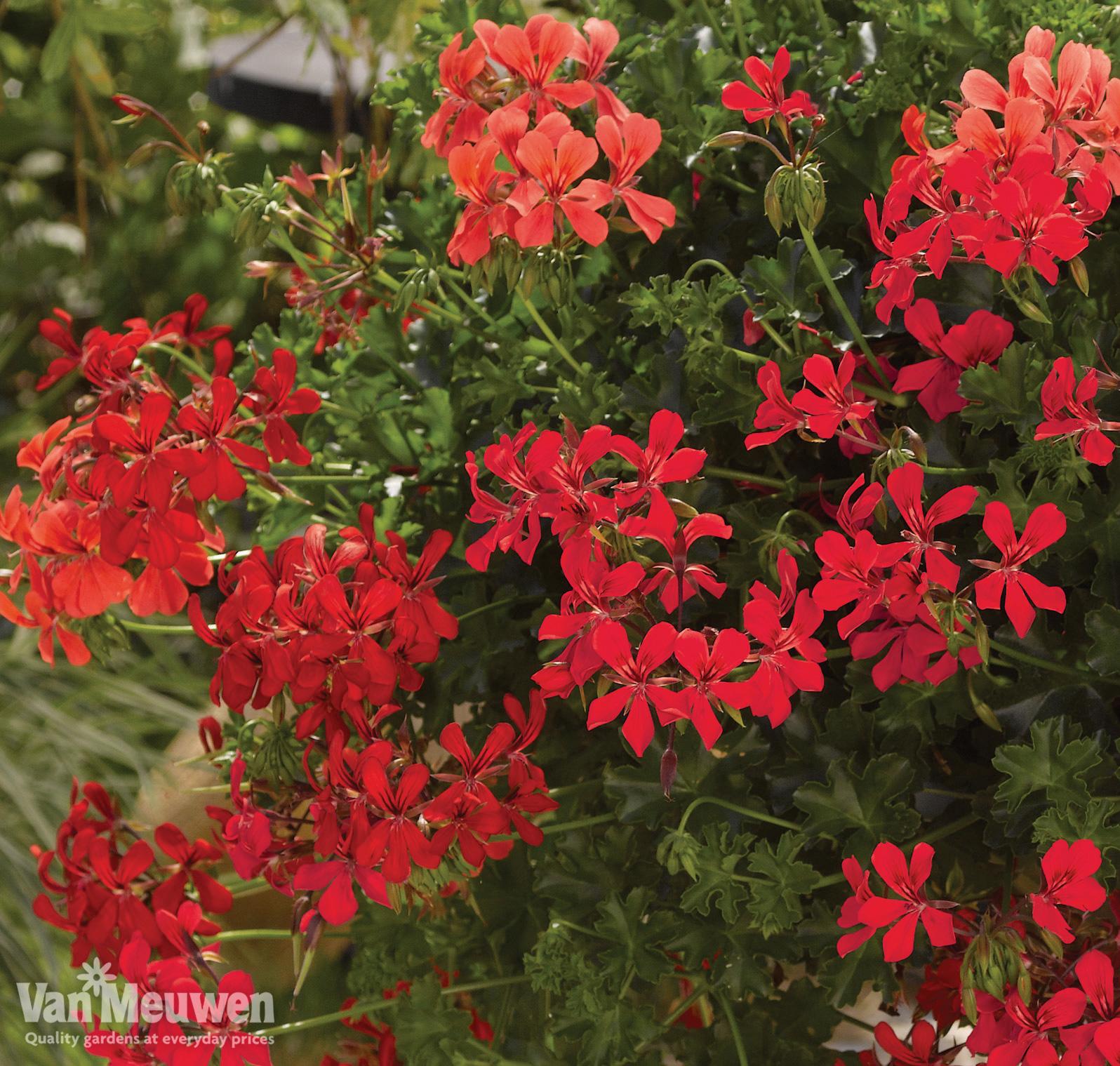 Geranium 'Decora Red'