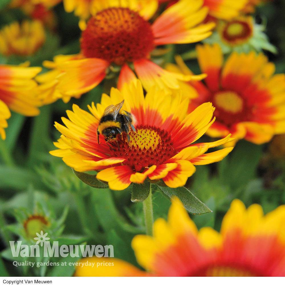 Image of Perfect Pollinators Perennial Collection