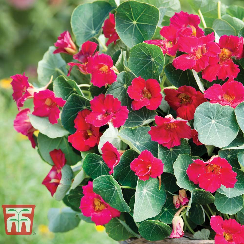 Image of Nasturtium 'Baby Deep Rose'