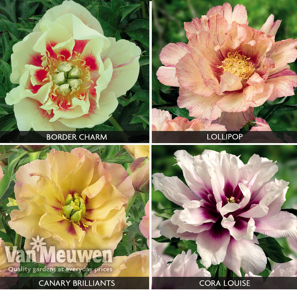 Peony Itoh Collection