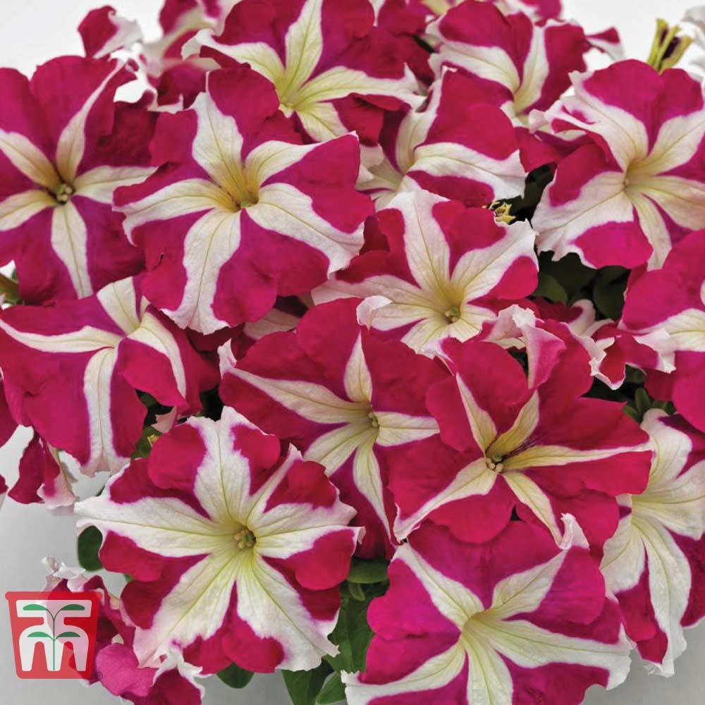 Image of Petunia SUCCESS!® HD Rose Star