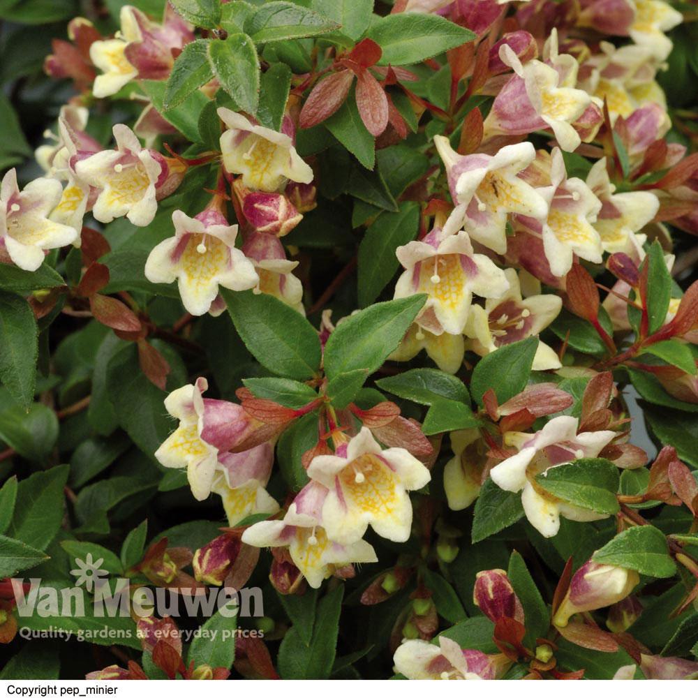 Image of Abelia x grandiflora 'Sunny Charms'