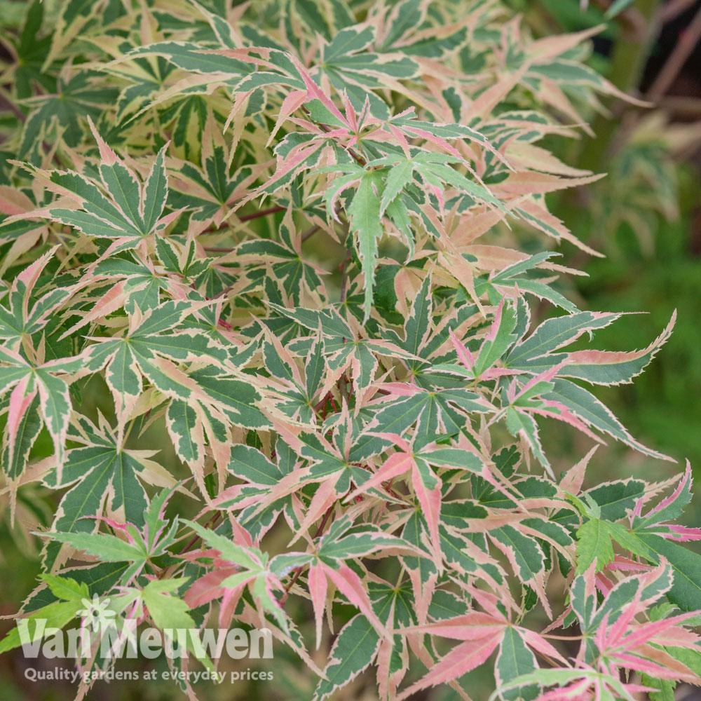 Image of Acer palmatum 'Beni-Shichi-Henge'