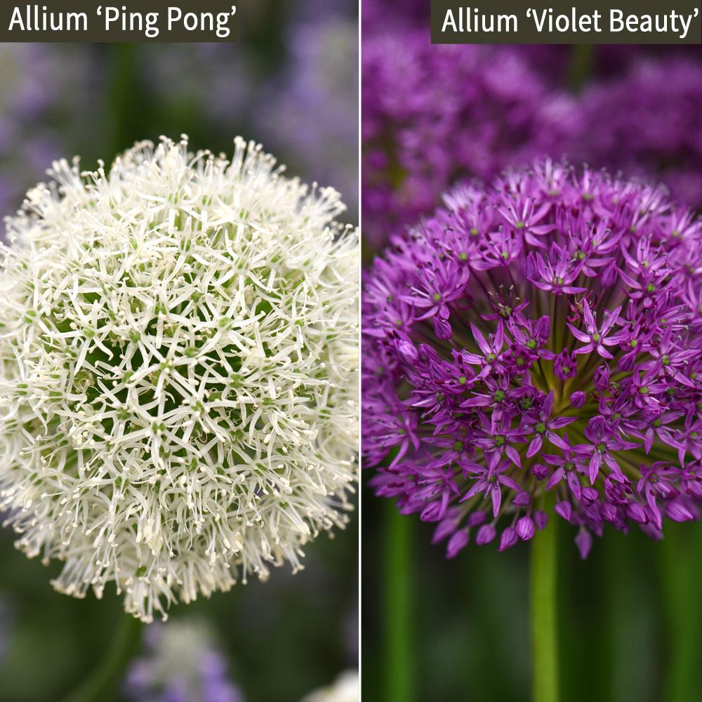 Image of Allium Duo Collection