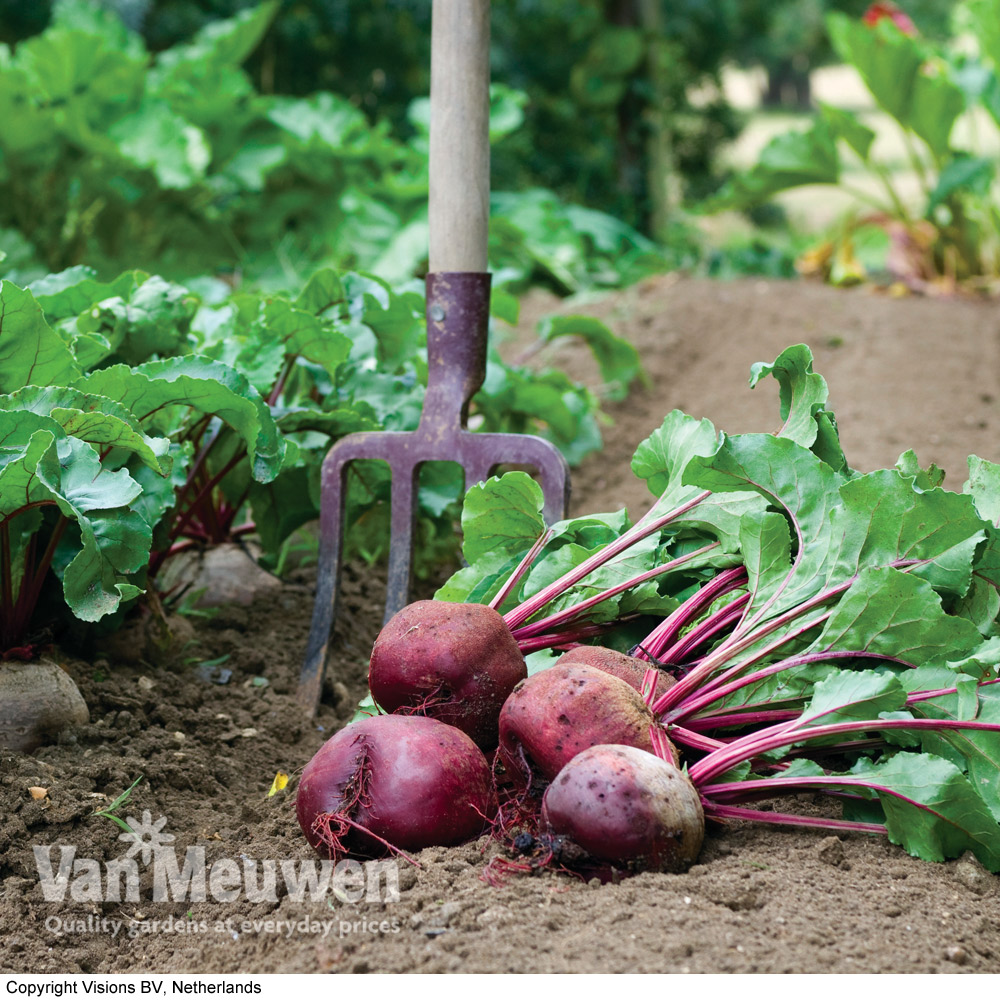 Image of Beetroot 'Action' (Seeds)