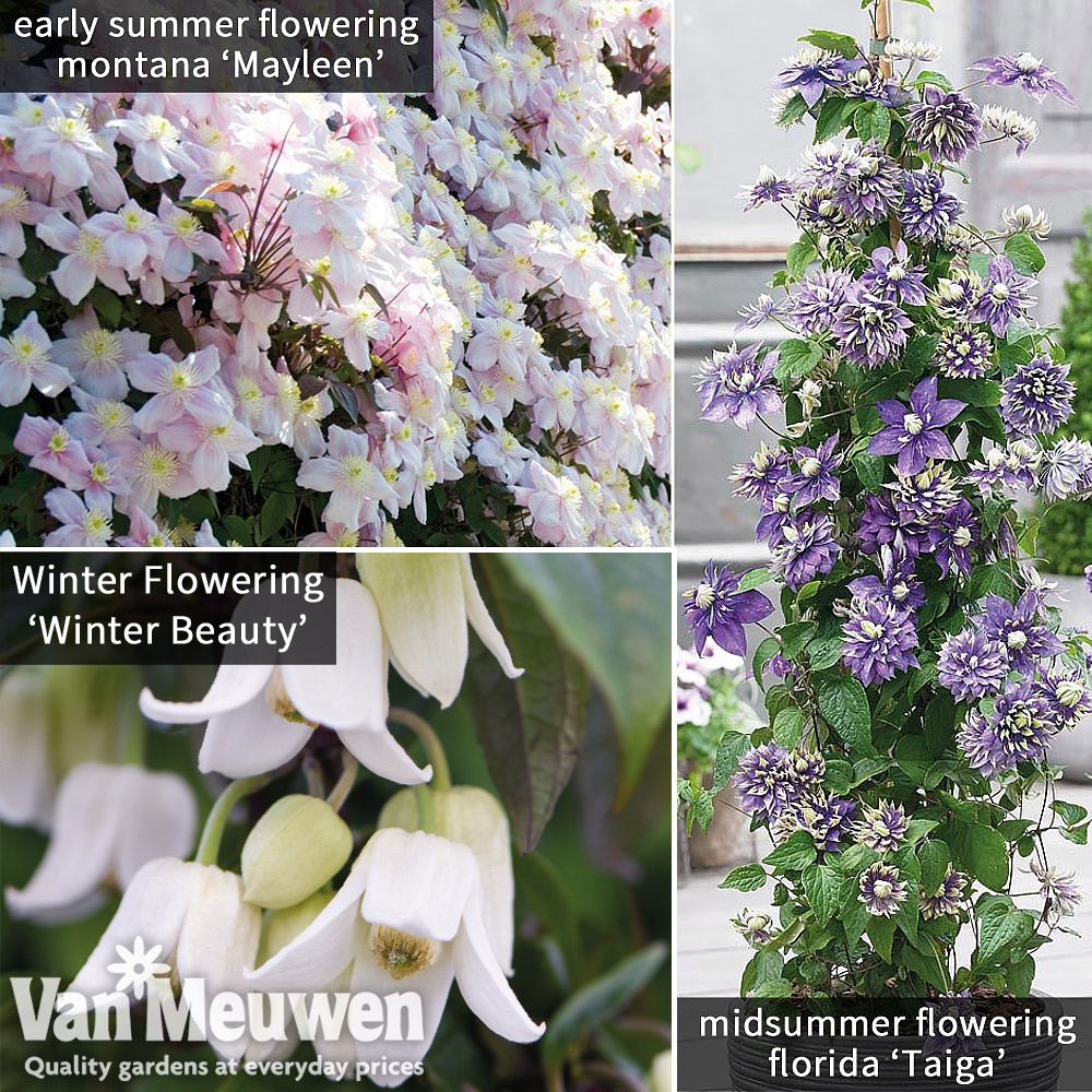 Image of Clematis All Season Climbing Collection
