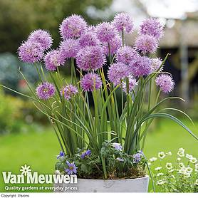 allium carolinianum rosy dream