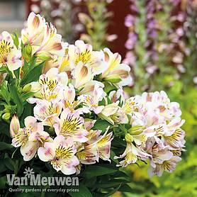 alstroemeria times valley summer paradise series