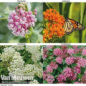 Asclepias Collection