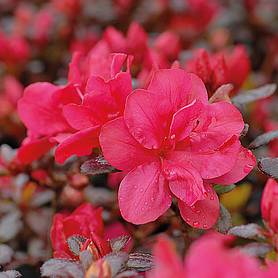 azalea dwarf collection