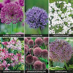 Allium 'Best sellers Collection'