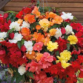 begonia x tuberhybrida illumination mixed