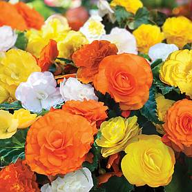begonia nonstop citrus mix
