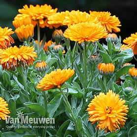 calendula spiky orange