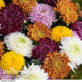chrysanthemum bumper collection