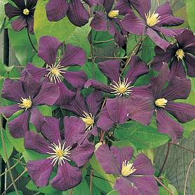 clematis toile violette