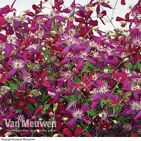 clematis sweet summer love collection