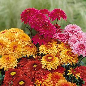 chrysanthemum double american spray