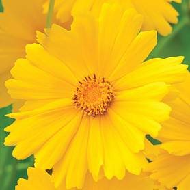 coreopsis grandiflora golden joy garden ready