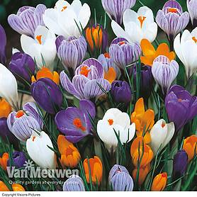 crocus dutch large flowering spring flowering