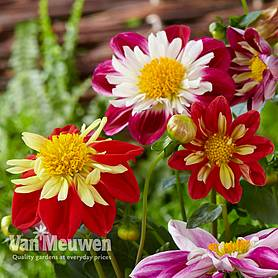 dahlia harlequin mixed