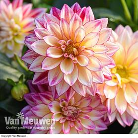 dahlia tropical breeze dahlinova hypnotica series