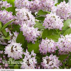 deutzia raspberry sundae