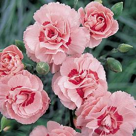 pinks doris clove scented