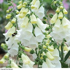 foxglove knee high mixed