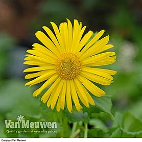 doronicum caucasicum little leo