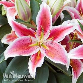 lily dazzler ground cover