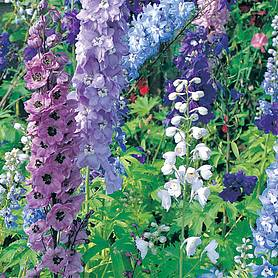 delphinium hybridum magic fountains mixed