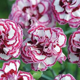 pinks grans favourite clove scented