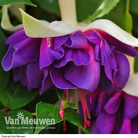 giantflowered fuchsia collection