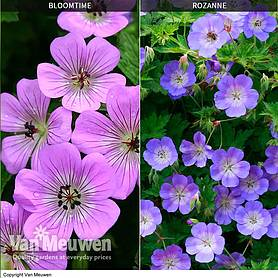 Geranium 'Bloomtime' & 'Rozanne' Collection