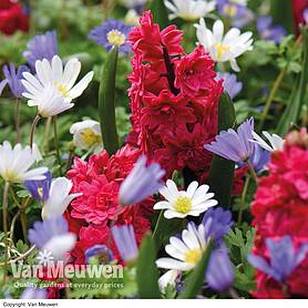 Hyacinth Hollyhock & Anemone Blanda Mix