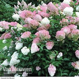 cheap cottage garden plants for sale at van meuwen. Black Bedroom Furniture Sets. Home Design Ideas