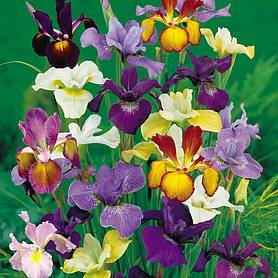 iris metallic mix
