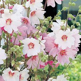 lavatera x clementii barnsley baby