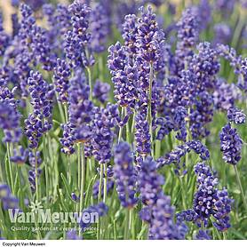 lavender duo collection
